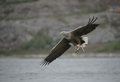 Hunting eagle with catch a white tailed carrying a fish which it has just caught Stock Image