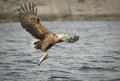 Hunting eagle a white tailed carrying a large coalfish which it has just caught Royalty Free Stock Image