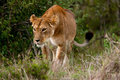 Hunting Lioness (Panthera leo) Royalty Free Stock Image