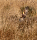 A hunting Marsh Harrier Royalty Free Stock Images