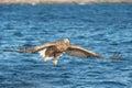 Hunting Sea Eagle Royalty Free Stock Photo