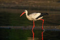 Hunting white stork Royalty Free Stock Photo
