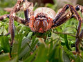 Huntsman spider a close up view of a Royalty Free Stock Photography