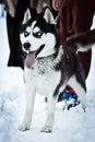 Husky blue eyes Royalty-vrije Stock Foto