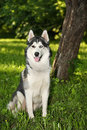 Husky dog Royalty Free Stock Photography
