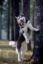 Husky dog Stock Photography