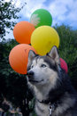 Husky dog and balloons Stock Photos