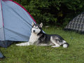Husky a dog guarding the masters tent Stock Image