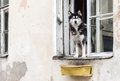 Husky dog and old window