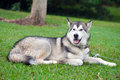 Husky dog in park beautiful black and white siberian lying green natural setting Royalty Free Stock Image