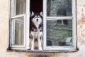 Husky dog sitting at opened window Royalty Free Stock Photo