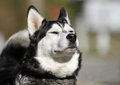 Husky dog sniffing the air large fluffy siberian with eyes closed Royalty Free Stock Photography