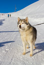 Husky dog in the snow on mountain Royalty Free Stock Image