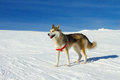 Husky dog in the snow on mountain Stock Image