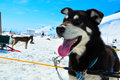 Husky dogs musher camp on top of mendehall glacier in juneau ice field alaska Stock Photos