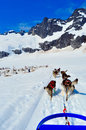 Husky dogs and sled musher camp on top of mendehall glacier in juneau ice field alaska Royalty Free Stock Photography