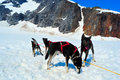 Husky dogs and sled musher camp on top of mendehall glacier in juneau ice field alaska Royalty Free Stock Photos