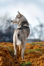 Husky is looking at sth Royalty Free Stock Photo