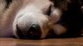 Husky malamute sleeping Royalty Free Stock Photography