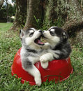 Husky puppies Royalty Free Stock Photo