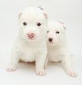 Husky puppies Stock Image