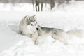 The husky puppy laying in snow. Royalty Free Stock Photo