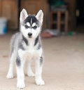 Husky puppy portrait of one little cute of siberian dog Royalty Free Stock Photos