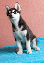 Husky puppy portrait of one little cute of siberian dog Stock Image