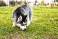The husky puppy sniffing the grass Royalty Free Stock Photo