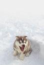 Happy Husky Puppy Royalty Free Stock Photo