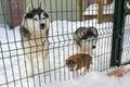 Family Dog Huskies in the aviary Royalty Free Stock Photo