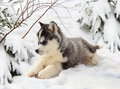 Husky puppy in a winter forest Royalty Free Stock Photo