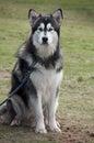 Husky Siberiano Stock Image