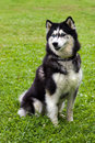 Husky sits on a grass it is black and white color in Royalty Free Stock Images