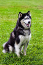 Husky sits on a grass it is black and white color in Royalty Free Stock Photography