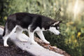 Husky standing on the brink of a lake Royalty Free Stock Image