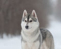 Husky on the walk looking into distance Royalty Free Stock Photo
