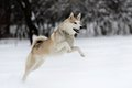 Husky young siberian dog in snow Royalty Free Stock Photo