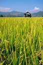 Hut and rice field Royalty Free Stock Images