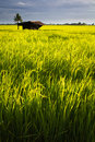 Hut in rice field Stock Images