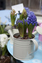 Hyacinth Royalty Free Stock Image