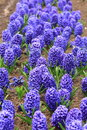 Hyacinth this is already flowering Royalty Free Stock Photography