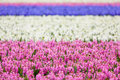 Hyacinth. Beautiful Colorful P...