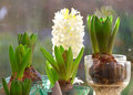 Hyacinth bubls in the window Royalty Free Stock Photo