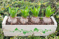 Hyacinth bulbs fresh leaves garden Stock Photos