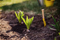 Hyacinth bulbs planted to garden bed in spring sunny day Royalty Free Stock Photo