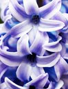 Hyacinth closeup Stock Photos