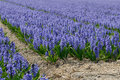 Hyacinth a field with blue hyacinths Stock Images