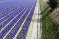 Hyacinth field and a dike Royalty Free Stock Photo