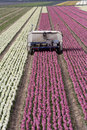Hyacinth fields and an electric car Stock Photography